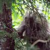 porcupine on a tree in juneau alaska