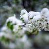 white bloom during spring snow