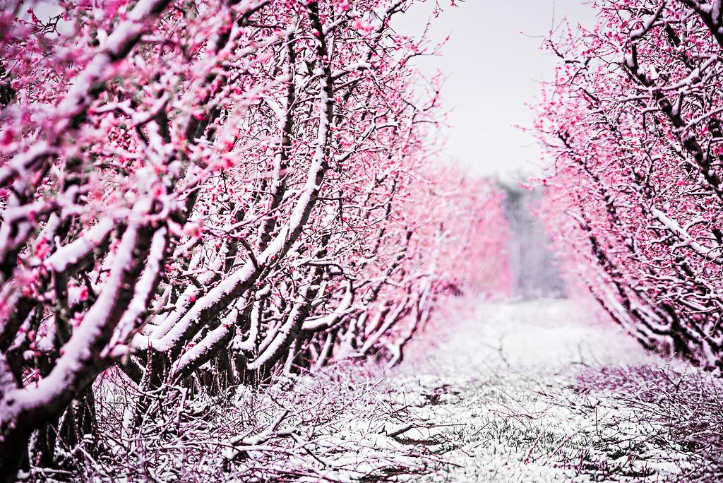 peach tree blossom on a farm in spring snow