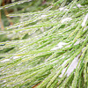 pine tree branches covered in ice