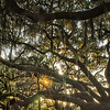 Live Oak Tree with Quercus virginiana and Spanish Moss at sunset