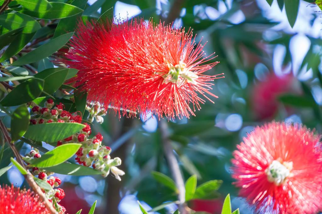 callistemon citrinus red puffy fluffy flower plant
