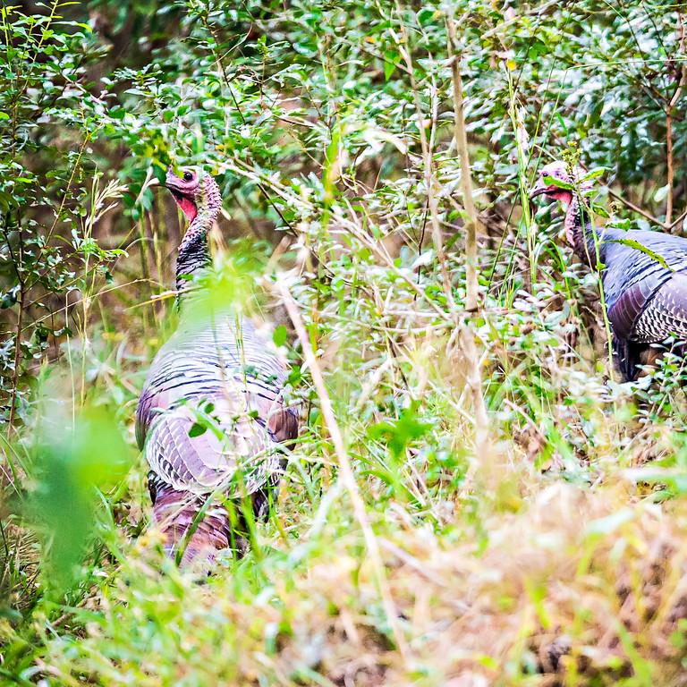 wild turkey browsing around woods