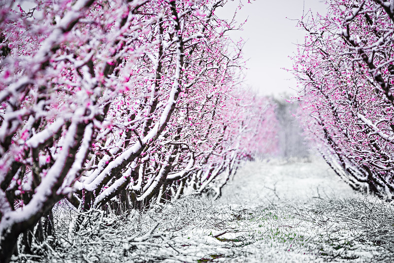 peach tree blossom on a farm in spring snow