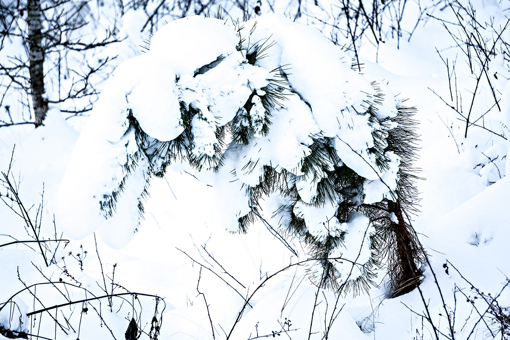 fir tree covered in thick snow