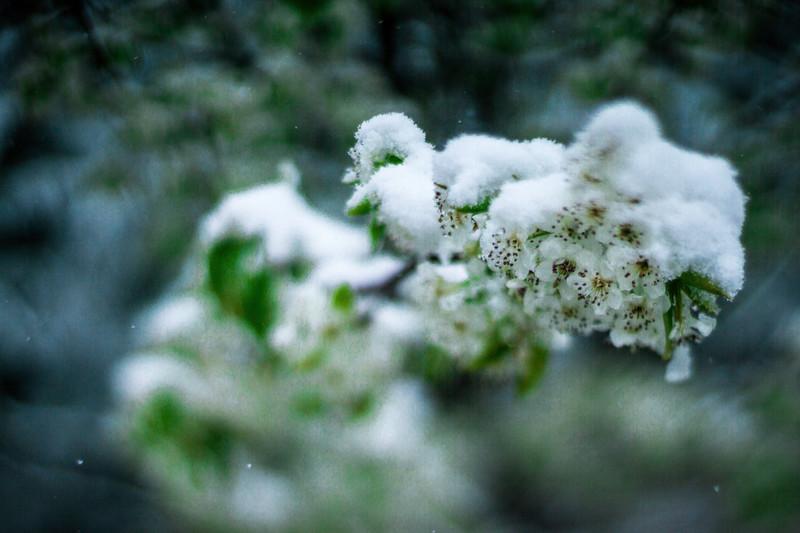 white bloom during spring snow