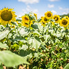 sunflower farm field landscape in south carolina