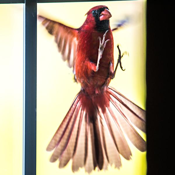 cardinal male bird flying into home door glass