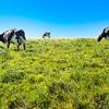 cows on pasture at point reyes nashinal seashore california