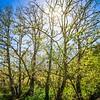 sun is shining through cypres trees near muir woods california