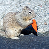 california squirrel eating a dorrito chip on california coast