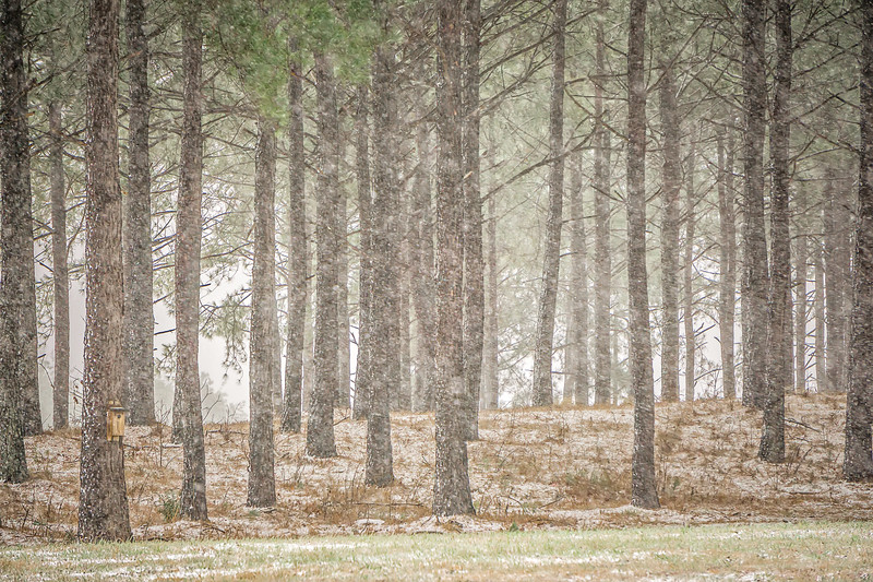 winter blizzard and falling snow in the wooded forest