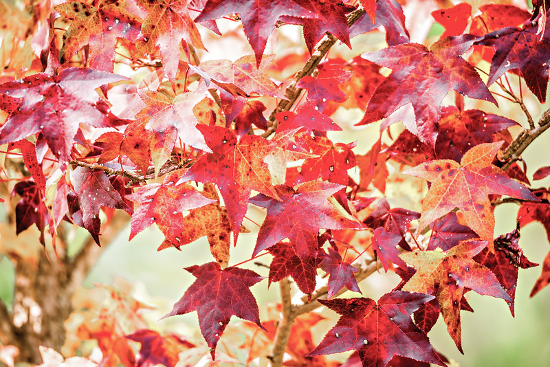 Background group autumn orange leaves