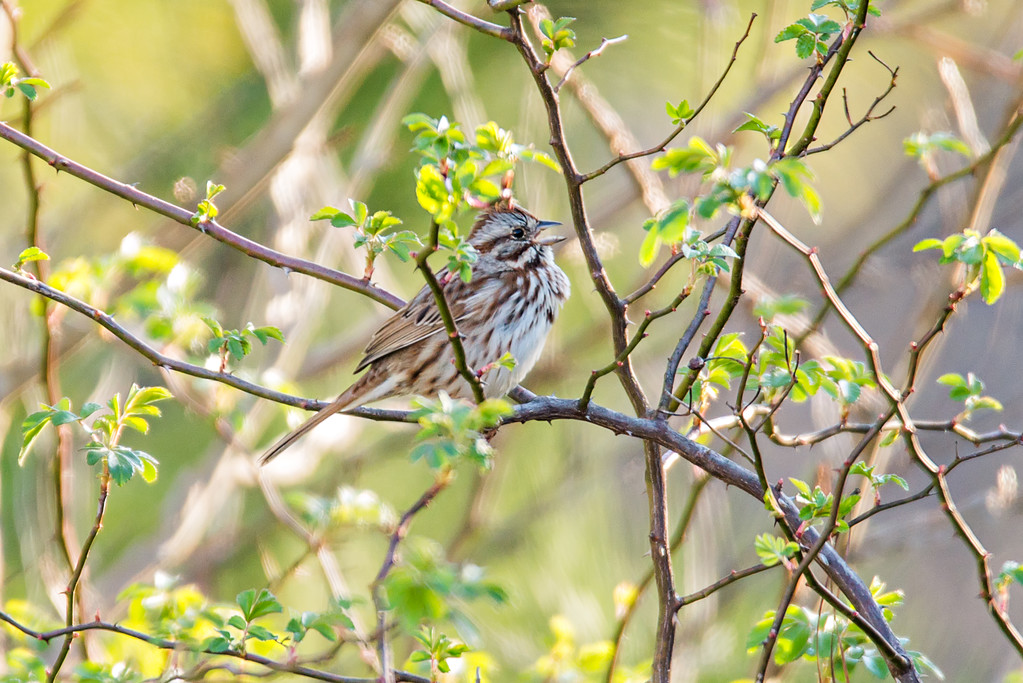 american tree sparrow perched on a tree in spring