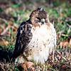 hawk sitting in backyard on green lawn