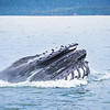 whale watching on favorite channel alaska