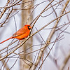 red cardinal perched on tree branches in the sun