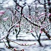 peach tree farm during spring snow with blossoms