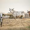 aggressive bulls staring at camera at the farm