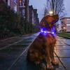Nederland, Amsterdam, Amsterdam Oost, Cruquiusweg, hond Lyon draagt een lichtgevende halsbond, zodat  fietsers hem op kunnen merken, als hij het fietspad  oversteekt,  2 januari 2017, foto: Katrien Mulder