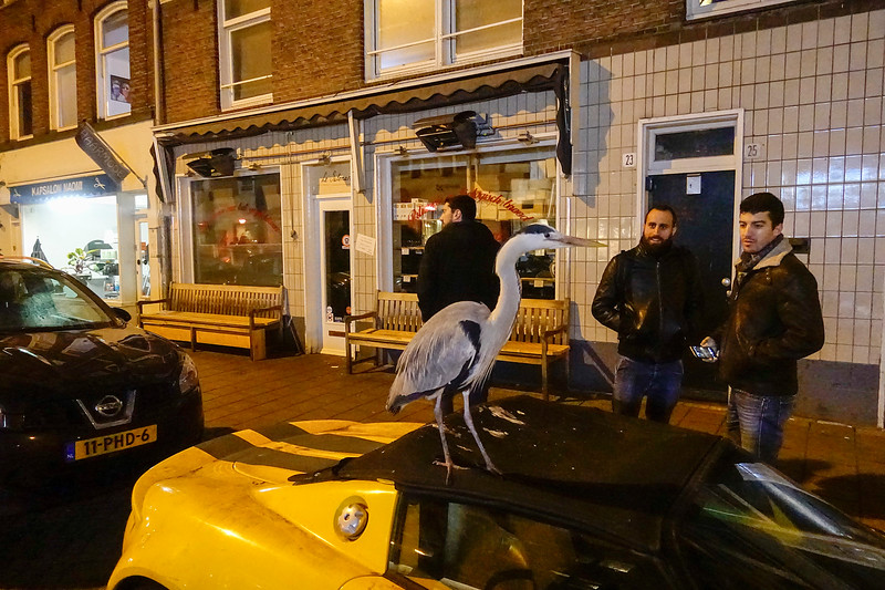 Nederland, Amsterdam, 19 februari 2017, reigers in de Pijp, foto: Katrien Mulder