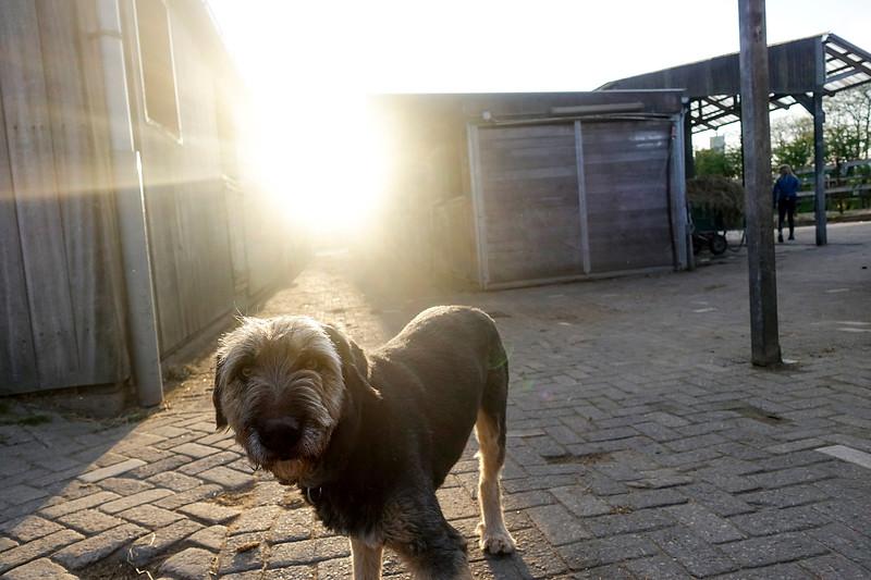 Nederland, Diemen, Kobus komt uit Spanje, hij was een doodsbange hond, maar heeft zijn draai gevonden in de manege van Diemen,,23 april 2017, foto: Katrien Mulder