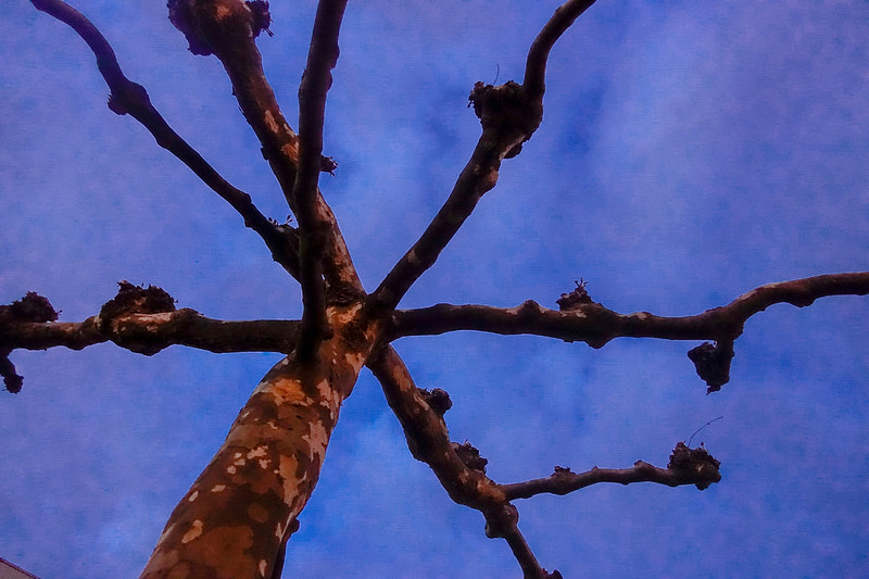 Nederland,  Knotted linden tree; geknotte lindenboom;;   28 april 2017, foto: Katrien Mulder