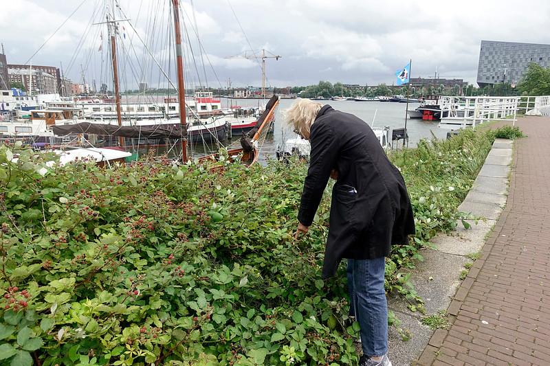 Nederland, Amsterdam, 1bramen plukken  bij de verbindingsdam tussen  KNSM eiland en Rietlanden; 4 juli 2017, foto: Katrien Mulder