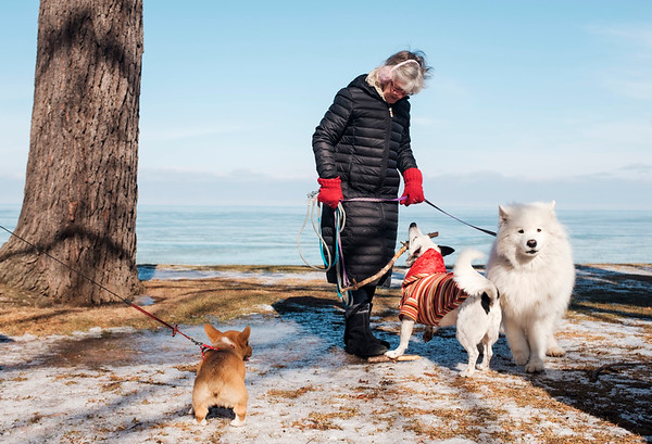 JOED VIERA/STAFF PHOTOGRAPHER-Buffalo, NY-Bodie, a 3-month old welsh corgie watches Jack, a jack russel border collie try to start a fetch game with Joanne Keenan as she holds her 8 year old samoyed, Kuhl during a walk at Krull Park.