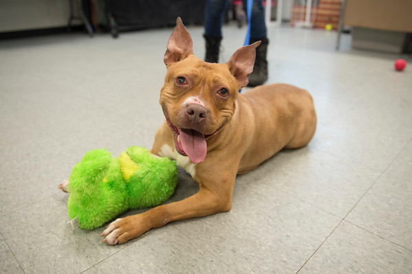 Joed Viera/Staff Photographer Wheatfield, NY-Kami, a pitbull terrier rescue, plays with her stuffed frog at the Niagara County SPCA