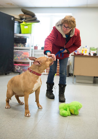 Joed Viera/Staff Photographer Wheatfield, NY-Volunteer Judy LaSota gives a treat to Kami, a pitbull terrier rescue at the Niagara County SPCA