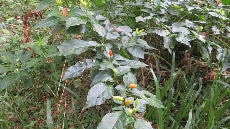 WILD PEPPERS