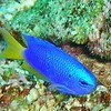 YELLOWTAIL BLUE NEON DAMSEL