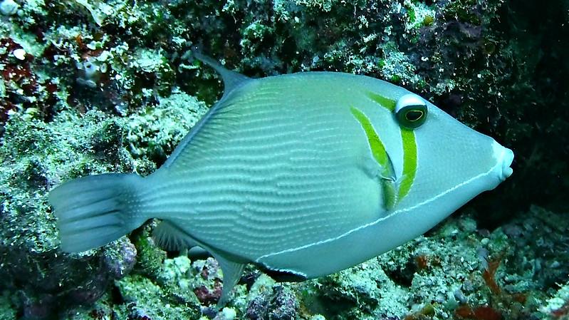 SCYTHE TRIGGER FISH