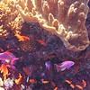 PURPLE DART FISHES