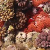 VIDEO: RED ANEMONES AND RED FISH