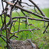 JOED VIERA/STAFF PHOTOGRAPHER-Lockport,NY- A Mallard Duck nests under branches in front of a Sycamore Street Home.