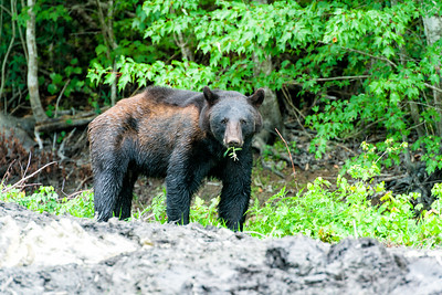 Black bear at Alligator River National Wildlife Refuge.
