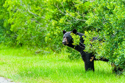 Black bear at Alligator River National Wildlife Refuge. This was the view from about 50 yards (46 meters).