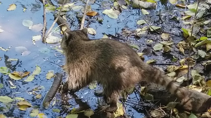 VIDEO: ROCKY RACCOON IN STANLEY PARK, VANCOUVER