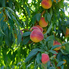 Joed Viera/Staff Photographer-Venture peaches at Bittner Singer Orchards