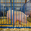 JOED VIERA/STAFF PHOTOGRAPHER- Gianna Marino's entry into the county's 4H contest Honey, won 1st place for swine in the showmanship category at the Niagara County Fair.