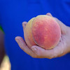 Joed Viera/Staff Photographer-Jim Bittner holds up a Venture peach at his farm.
