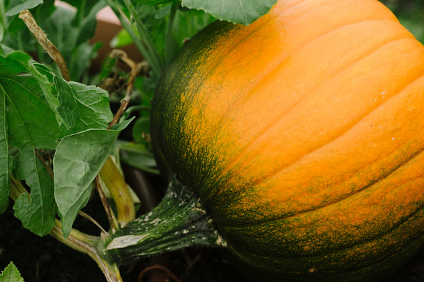 JOED VIERA/STAFF PHOTOGRAPHER-Lockport, NY- A Pumpkin grows at Imagine Community Gardens on Tuesday, August 12th.