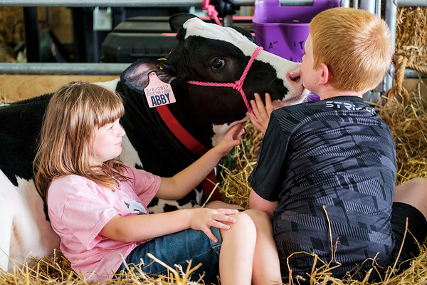 JOED VIERA/STAFF PHOTOGRAPHER- Adeline Atwater, 6, watches as her 4-month-old cow Abby licks Emerick Muck, 11, at the Niagara County Fair.