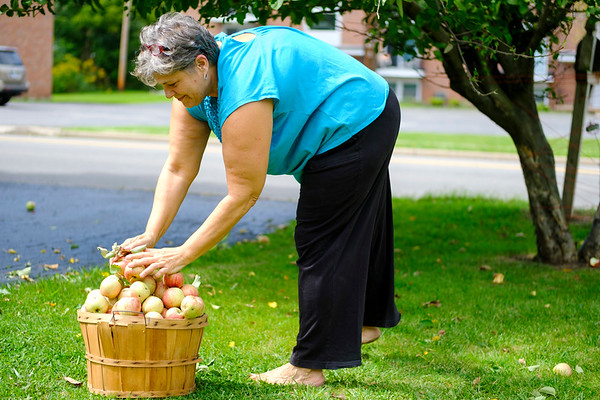 Joed Viera/Staff Photographer- Sandy Morton picks a bushell of apples from the 10 year-old tree in front of her Davison Road House.