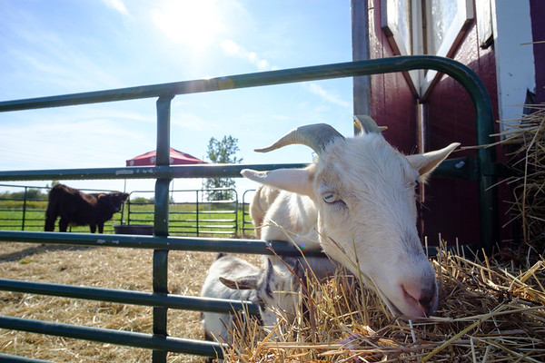 Joed Viera/Staff Photographer-A goat munches on hay at the Cabria Corn Maze.