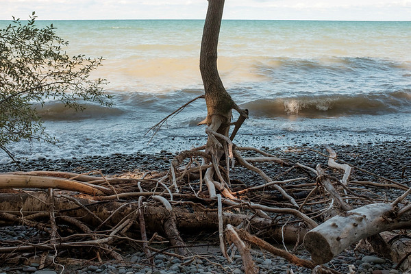 Joed Viera/Staff Photographer-Roots of a tree show along the shoreline of Lake Ontario on Sunset Island from erosion due to high lake levels.