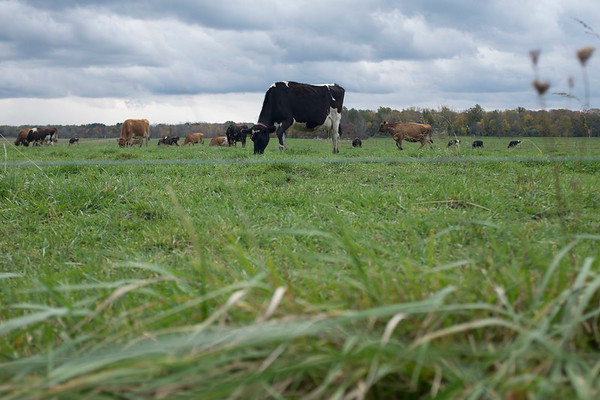 Joed Viera/Staff Photographer-Cows graze a field at Maverick Farms on Slayton Settlement Road.