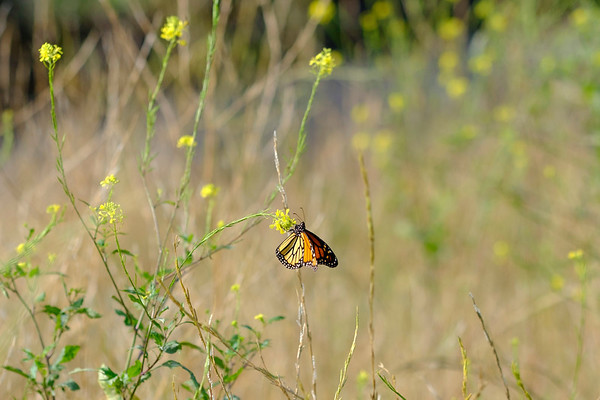 Joed Viera/Staff Photographer-A Monarch Butterfly lands on a flower in a Gooding Street field.